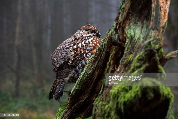 Hazel grouse / hazel hen male perched on tree stump in forest