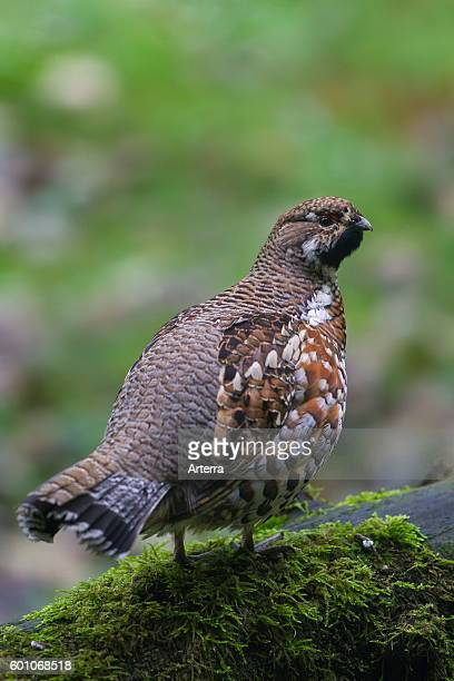 Hazel grouse / hazel hen male perched on tree stump