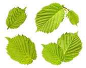 Hazelnut leaves isolated on white background as package design elements