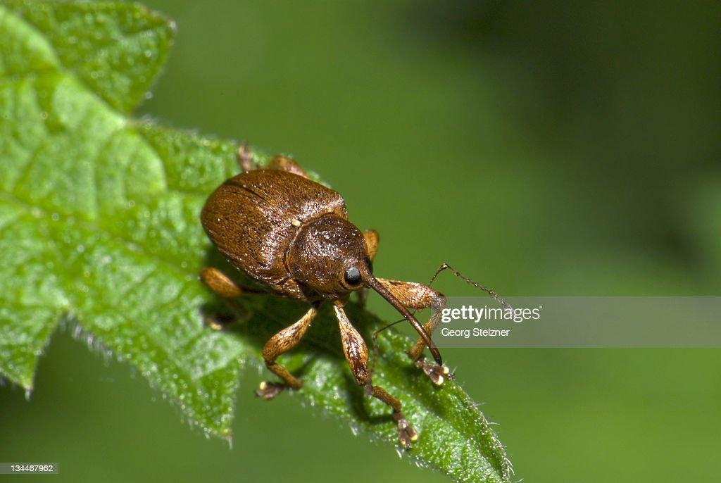 Hazelnut weevil (Curculio nucum) on leaf, Germany, Europe