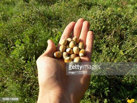 Hazelnuts on palm : Stock Photo