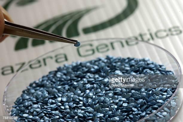 Hazera Genetics laboratory worker sorts seeds of hybrid cherry tomatoes named Summer Sun at company headquarters February 13 2007 at Berurim in...
