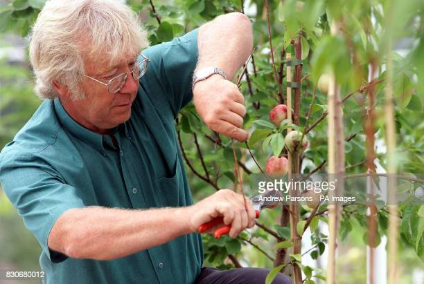 Head Gardener of the Kitchen Garden Mike Thurlow attends to the peach trees in the lost Orchard House at Audley End Essex * A nineteenth century...