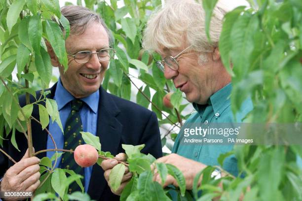 Head Gardener of the Kitchen Garden Mike Thurlow attends to the peach trees with Terence Read in the lost Orchard House at Audley End Essex * A...