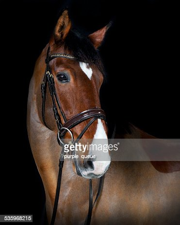 head Holsteiner horse riding : Stock Photo