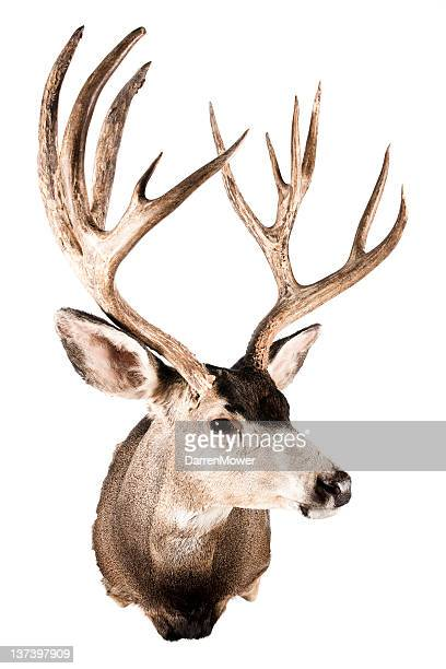 Head of a stuffed deer for house ornament