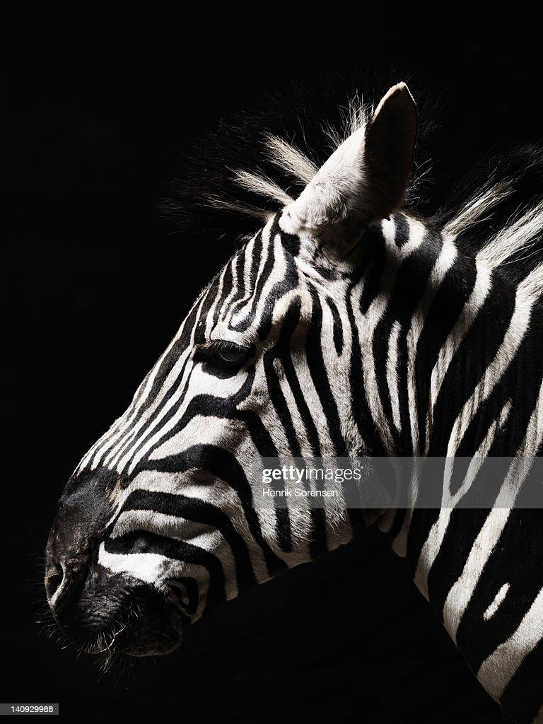 head of a zebra : Stock Photo