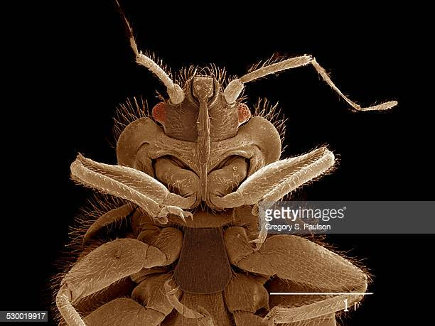 Head of Bat bug, Cimex sp., Cimicidae SEM