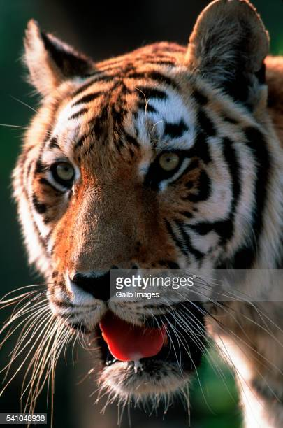 Head of Bengal Tiger
