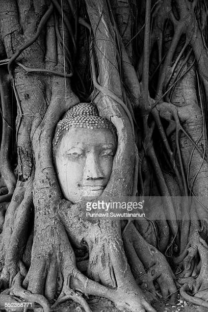Head of Buddha statue in a tree