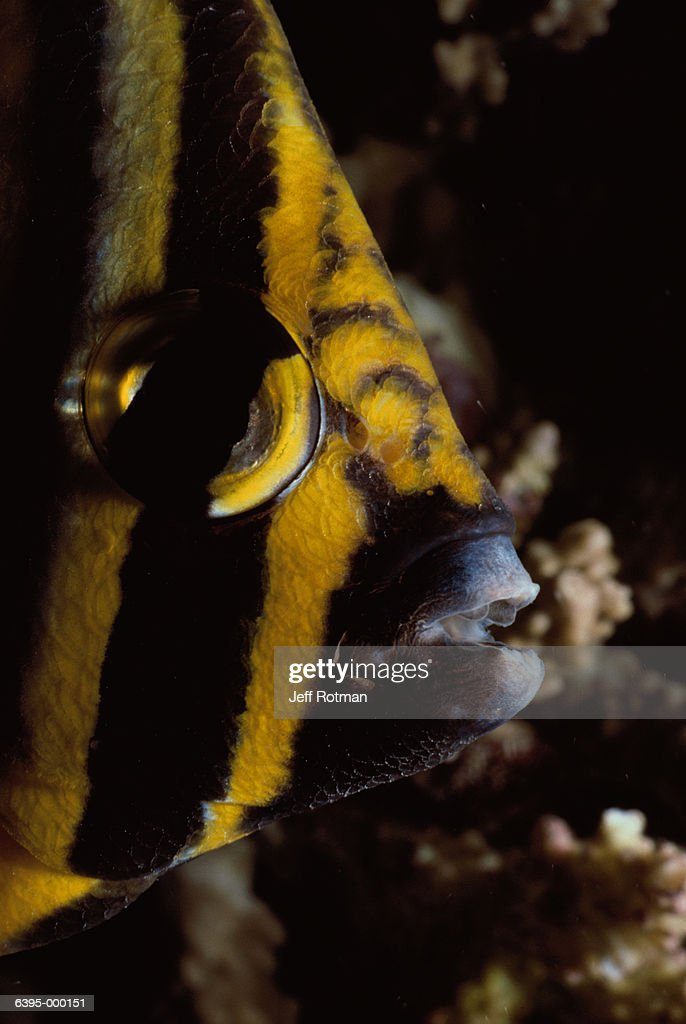 Head of Butterflyfish : Stock Photo