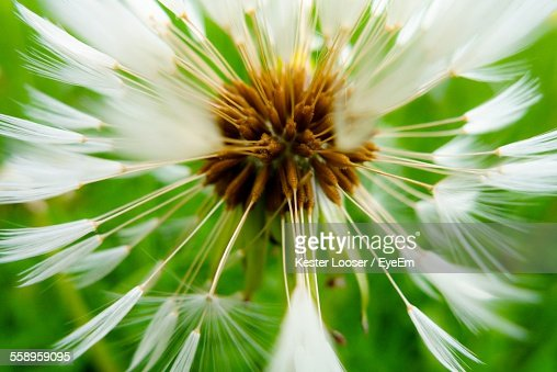 Head Of Dandelion With Seeds