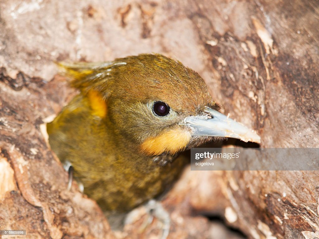Head of  Greater Yellownape -  Picus flavinucha mystacalis : Stock Photo