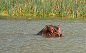 head of hippopotamus coming out of the water