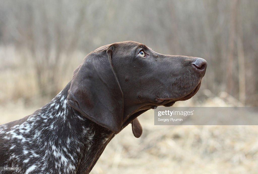 Head of hunting dog