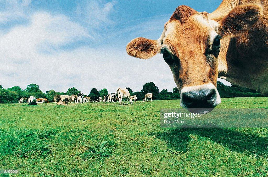 Head of Jersey Cow : Stock Photo