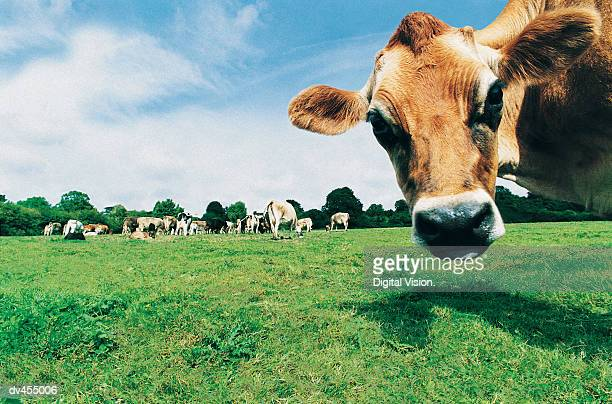 Head of Jersey Cow