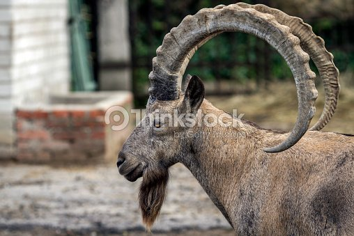 Head Of Mountain Ram In Profile At Zoo Ukraine Stock Photo