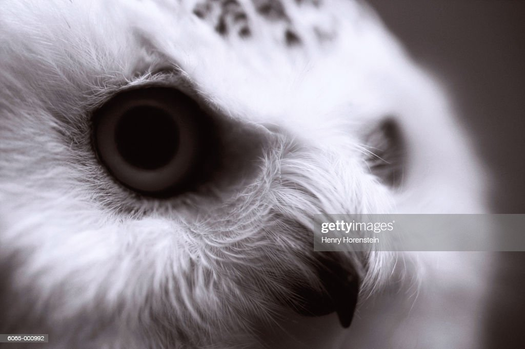 Head of Owl : Stock Photo