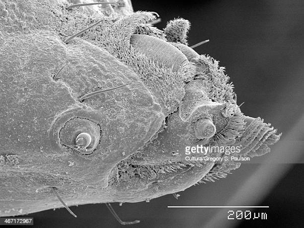 Head of soldier fly (stratiomyidae) maggot SEM