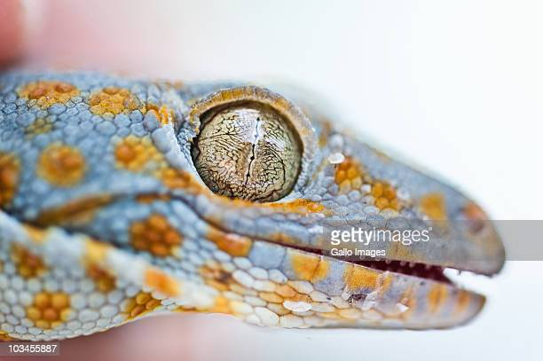 Head of Tokay Gecko (Gekko gecko), Kuta, Bali, Indonesia