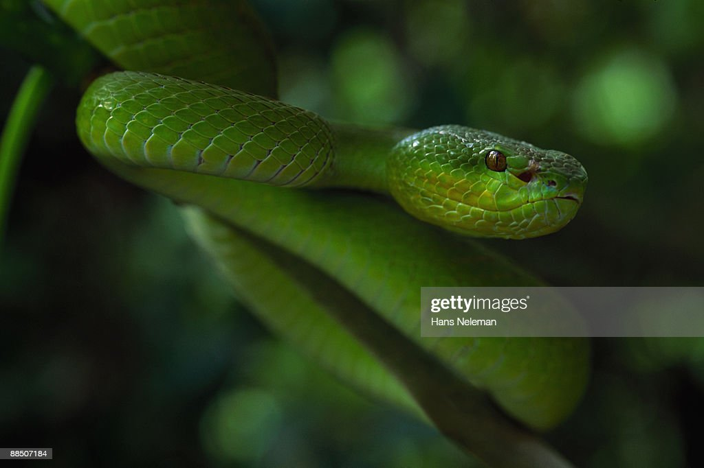 Head on view of green snake, Wagler?s pit viper : Stock Photo