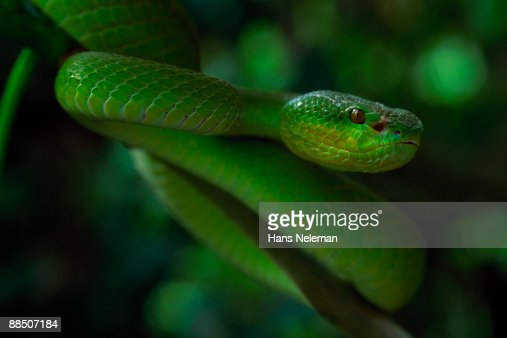 Head on view of green snake, Wagler?s pit viper