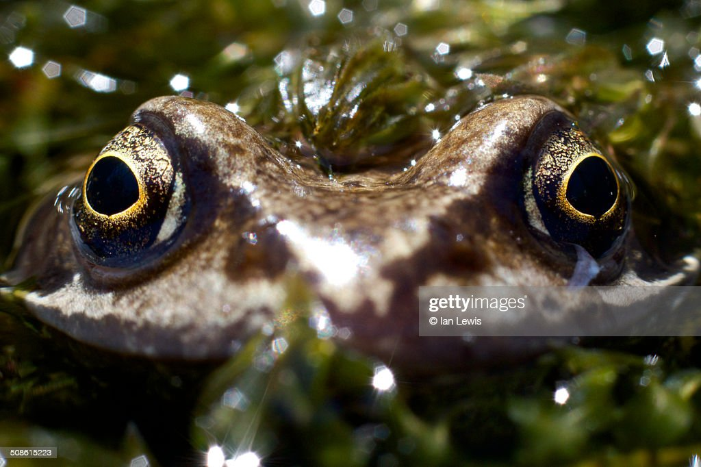 Head on with a common frog : Stock Photo