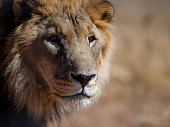 Head shot of a male lion
