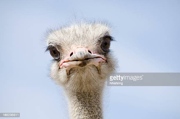 Toma de un avestruz mirando a la cámara