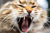 Domestic Cat, Undomesticated Cat, Animal Teeth, Animal, Animal Mouth