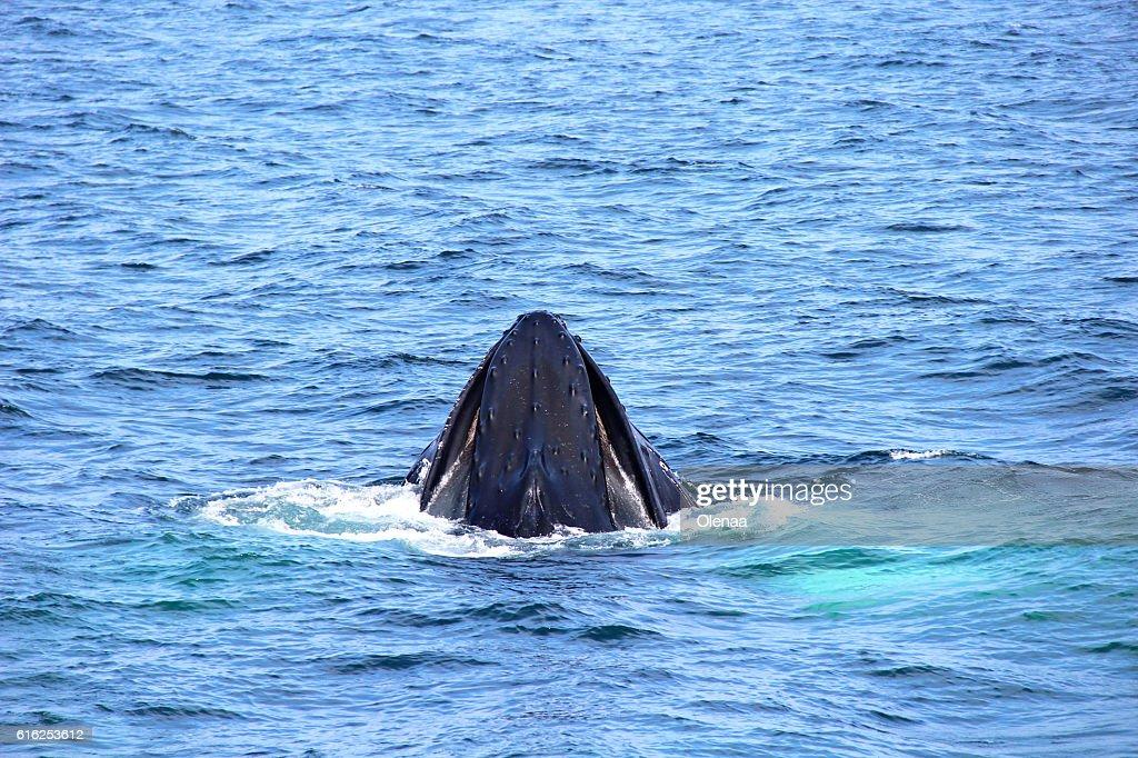 Head whale in the ocean : Foto de stock