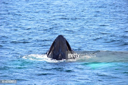Head whale in the ocean : Foto de stock