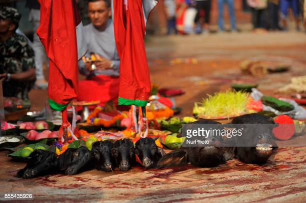 Heads of Goat and Buffalo as after slaughter on the occasion of Navami ninth day of Dashain Festival at Basantapur Durbar Square Kathmandu Nepal on...