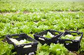 Heads of lettuce on field