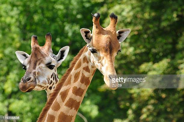 Heads of two giraffes in front of green trees