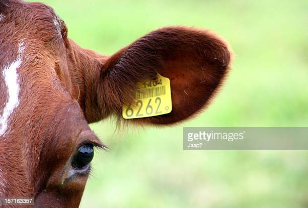 Headshot of a Dutch brown cow with yellow eartag