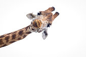 Full frontal headshot of a giraffe eating a twig with a white background