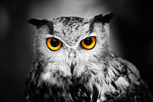 Portrait of a female great horned owl against a dark background. Partially toned.