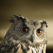 Headshot of an Eagle Owl