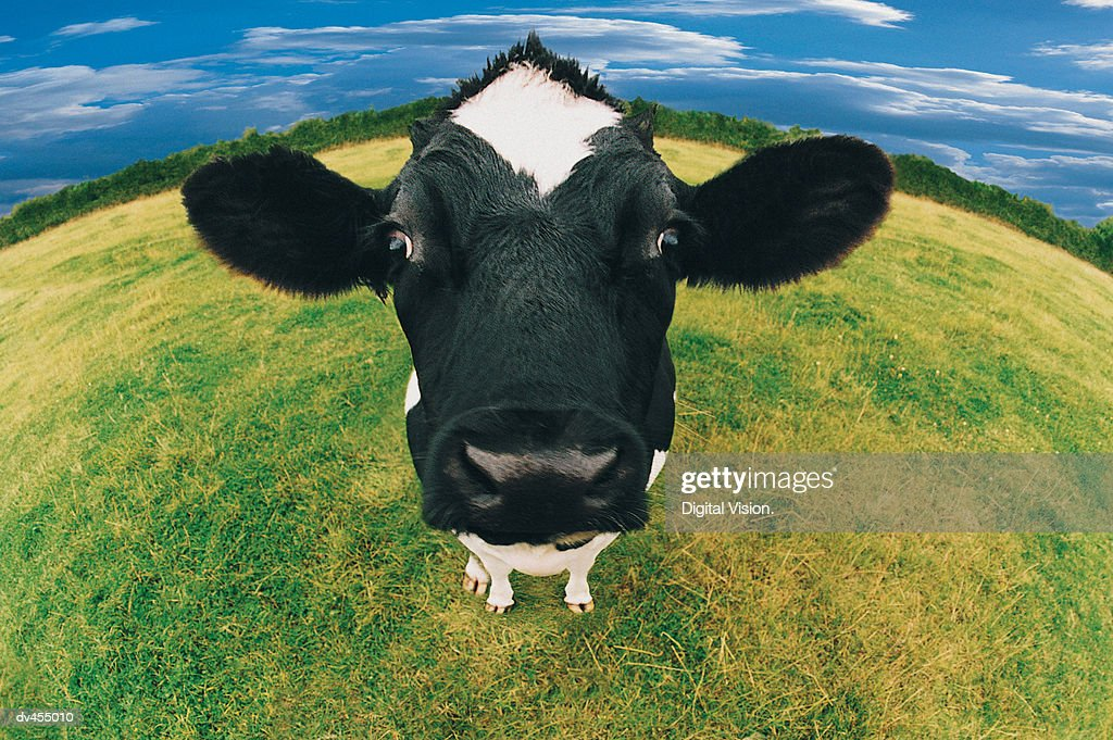 Headshot of Friesian Cow : Stock Photo