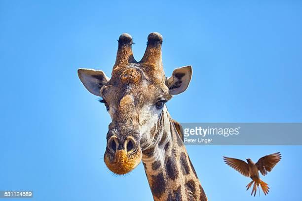 Headshot of Giraffe and bird