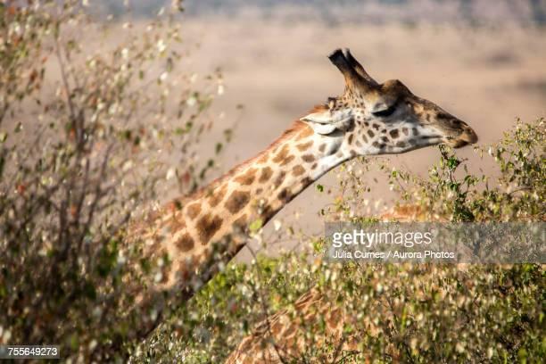 Headshot of giraffe, Maasai Mara, Kenya