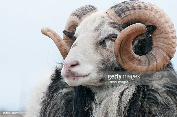 Headshot of sheep, Gotland, Sweden