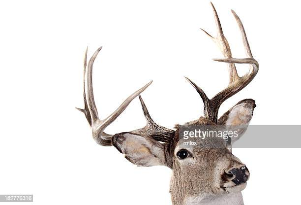 A headshot of the whitetail buck on a white background