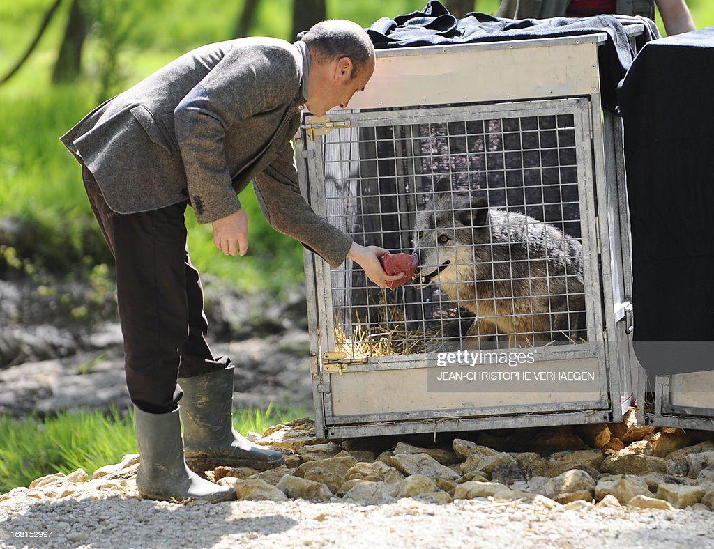 A healer zoo presents a piece of meat to one of the six Canadian timber wolves (Canis lupus occidentalis), aka Mackenzie Valley, wolves, in the animal park of Sainte-Croix, on May 6, 2013, in Rhodes, eastern France. Timber wolves are installed in a park of 12,000 square meters flanked by a park of artic wolves and a park of grey wolves. VERHAEGEN