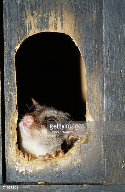 Healesville Sanctuary, Victoria, Australia. A sugar glider emerges from an artificial nest box.