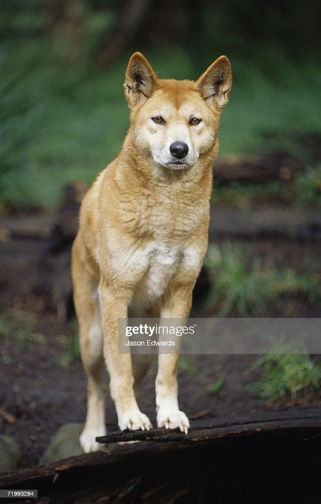 Healesville Sanctuary, Victoria, Australia. An alert dingo, Aboriginies' native wild dog, with ears standing up.