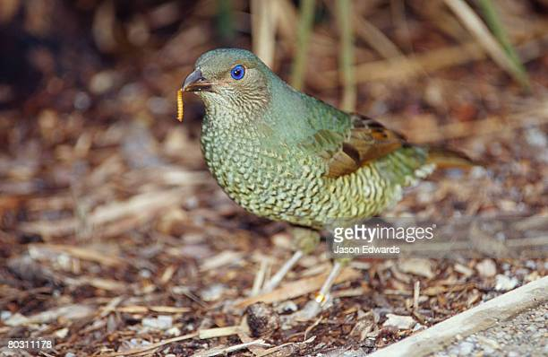 A female Satin Bowerbird with a Mealworm dangling from its beak.