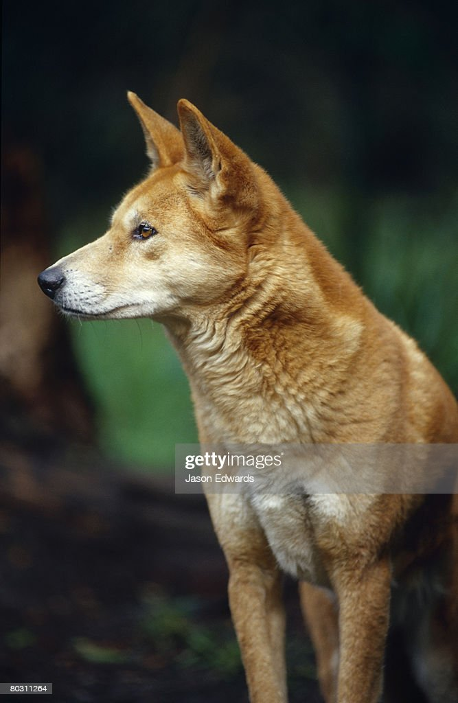 A Dingo with a healthy thick red, orange fur coat, watches alertly.